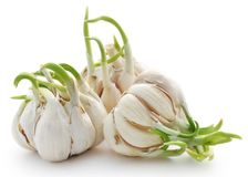 Garlic germinated. Over white background Stock Photography