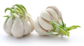 Garlic germinated. Over white background Stock Photo