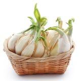 Garlic germinated. Over white background Royalty Free Stock Image