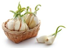 Garlic germinated. Over white background Royalty Free Stock Images