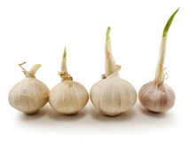 Garlic Growing Royalty Free Stock Image