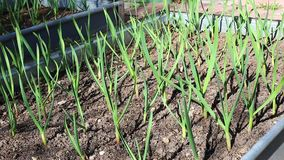 Garlic growing in the garden stock video footage