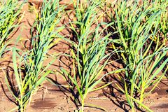 Garlic is growing. Young garlic plants in the field, agricultural background. The feathers of green onions and garlic. Garlic grows. Young garlic plants in the Royalty Free Stock Photos