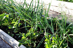 Garlic grows in the garden. With strawberry Royalty Free Stock Photo