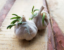 Garlic grows Stock Photography