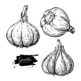 Garlic hand drawn vector illustration set. Isolated Vegetable En Stock Image