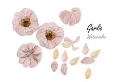 Garlic  .Hand drawn watercolor painting on white background.Vector illustration Stock Photo