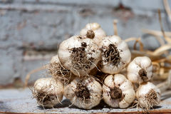 Garlic Harvest Royalty Free Stock Photos
