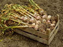 Garlic harvest. In wooden box Royalty Free Stock Photo