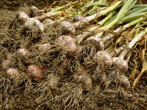 Garlic harvest. Some garlic bulbs with tops on the ground Royalty Free Stock Photos