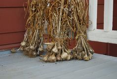 Garlic Harvest drying. Summer harvest of garlic from the garden drying Stock Photo