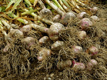 Garlic harvest Stock Images