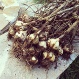 Garlic harvest. Harvest of hardneck garlic in a group Royalty Free Stock Images