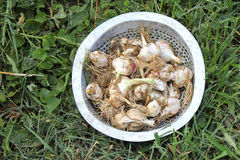 Garlic. Harvest in metal colander on grass Royalty Free Stock Photography