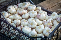 Garlic harvested in a black box. Garlic - a perennial herb belonging to the family of onion. Its sophisticated bulb consists of 3-20 bulblets - cloves. garlic royalty free stock photo
