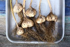 Garlic. Heads with roots close up royalty free stock photos