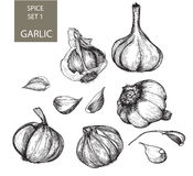 Garlic. Illustration. Hand drawn. Various images of garlic