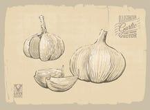 Garlic illustration Stock Photography