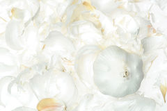 Garlic isolated on white Royalty Free Stock Image