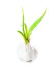Garlic isolated on white background Royalty Free Stock Photo