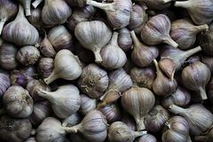 Garlic. A lot of garlic for planting. Purple garlic royalty free stock images