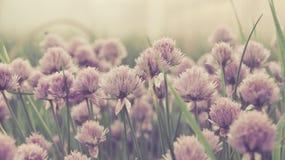 Garlic. Macro picture of wild garlic flower stock photos