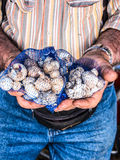Garlic in mans hands Royalty Free Stock Images