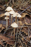 Garlic marasmius Stock Photo