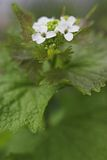 Garlic mustard. Plant in flower stock images