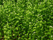 Garlic Mustard (Alliaria petiolata) Stock Image