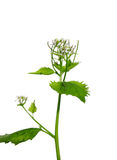 Garlic mustard (Alliaria petiolata) Royalty Free Stock Photo