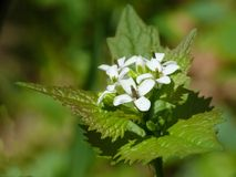 Garlic mustard (Alliaria petiolata) Royalty Free Stock Images
