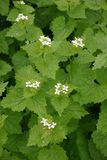 Garlic mustard Royalty Free Stock Photos
