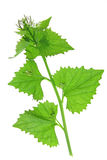 Garlic mustard (Alliaria petiolata) Stock Photos
