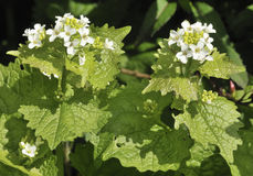 Garlic Mustard Royalty Free Stock Photography