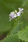 Garlic Mustard. A basal rosette of green surrounds the delicate white dew covered petals of a mustard flower. Aggressive in nature, this tiny plant is a severe royalty free stock photo