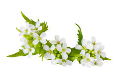 Garlic Mustard flower Stock Images