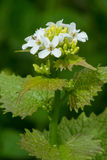Garlic Mustard Stock Photos