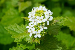 Garlic Mustard Royalty Free Stock Images