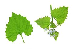 Garlic mustard Royalty Free Stock Image