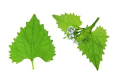 Garlic mustard Stock Photography