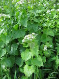 Garlic mustard. With flowers in spring royalty free stock image