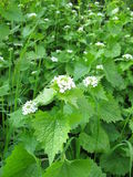 Garlic mustard. With flowers in spring stock images