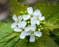 Garlic Mustard Weed Flower Stock Photography