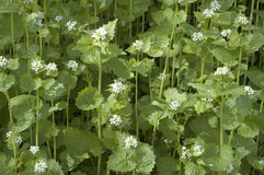 Garlic mustard. White flowers and foliage of hedge garlic Royalty Free Stock Image