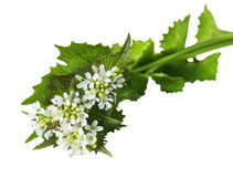 Garlic Mustard Wildflower Royalty Free Stock Photography