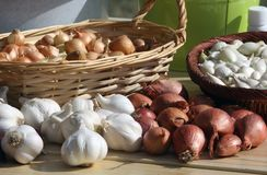 Garlic onion and eschalot seed Stock Image