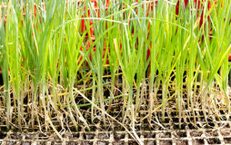 Garlic onion sprouts plants prepared for planting Stock Image