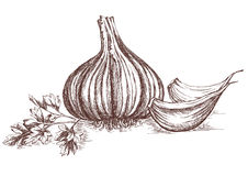 Garlic and parsley hand drawing. Garlic and parsley hand-drawing. Contains transparent objects. EPS10 stock illustration