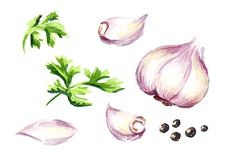 Garlic and parsley set. Watercolor hand drawn illustration, isolated on white background.  Royalty Free Stock Photo
